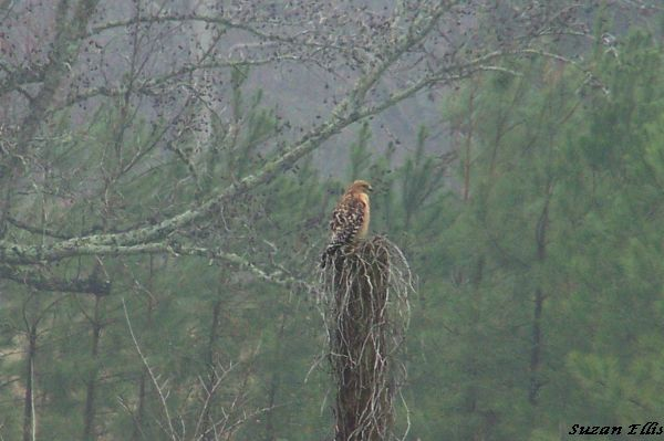 Hawk in our pasture!
