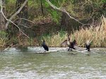 Neotropical Cormorants