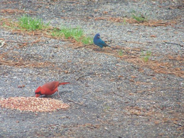 Indigo Bunting and Male Cardinal