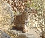 Bobcat at Keogh Hot Springs