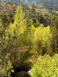 Aspen, South Fork Bishop Creek