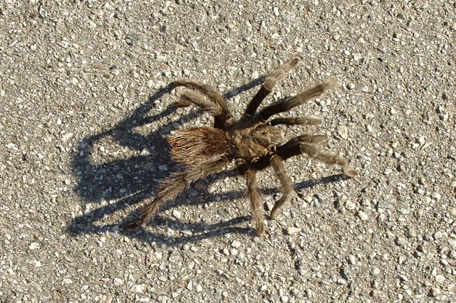 Tarantula on Pavement