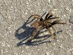 Why did the Tarantula cross the street?