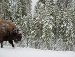 Bison Dusted With Snow