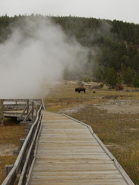 Walkway and Bison at Firehole Lake