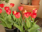 Tulips in Pots