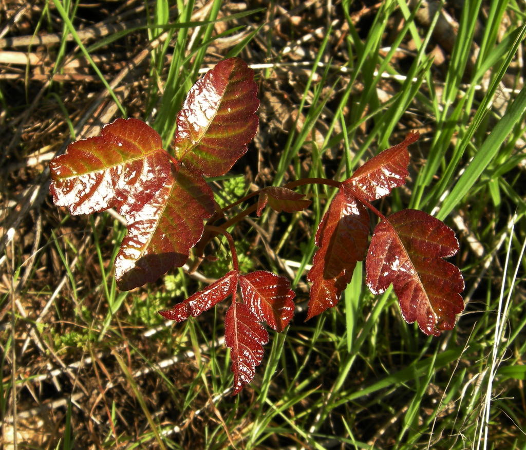 New Growth of Poison Oak with Shiny Red Leaves