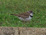 Killdeer2