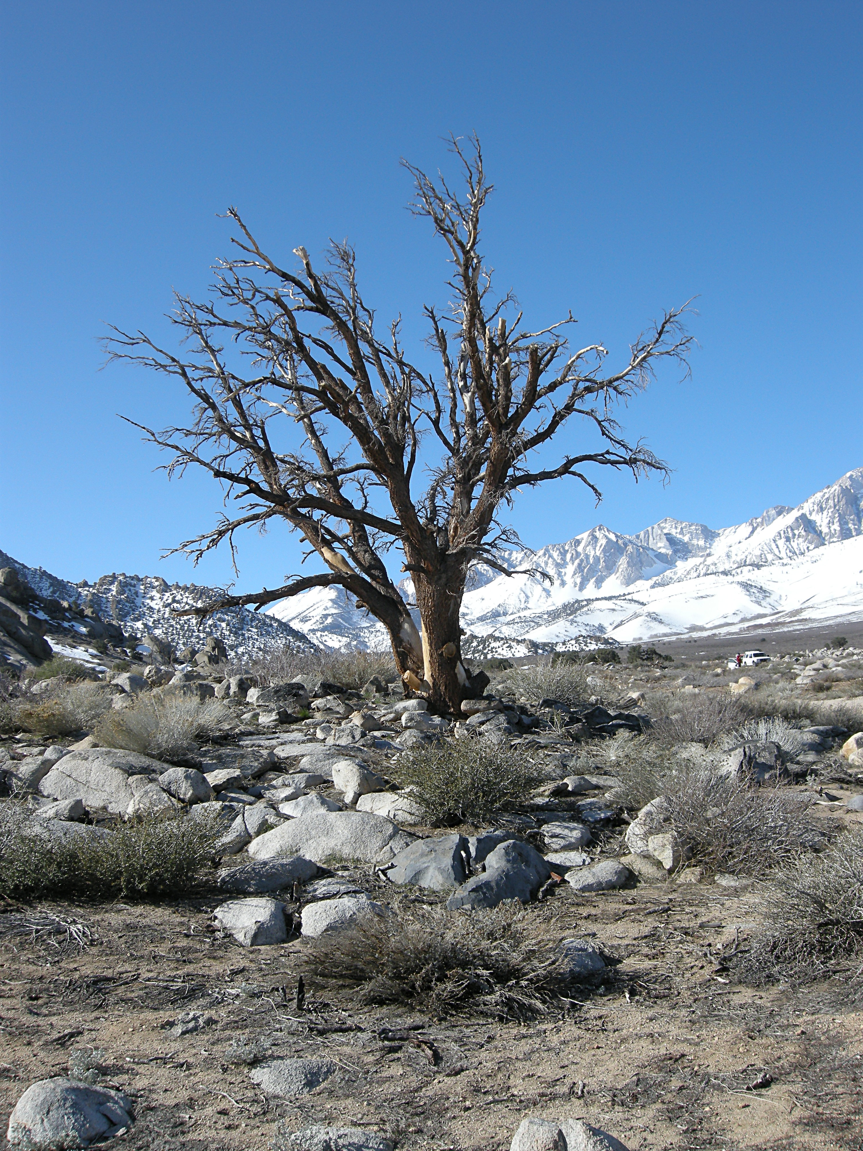 Bare Tree, Sierra Snow, Buttermilk Country
