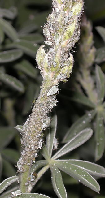 Aphids on Lupine