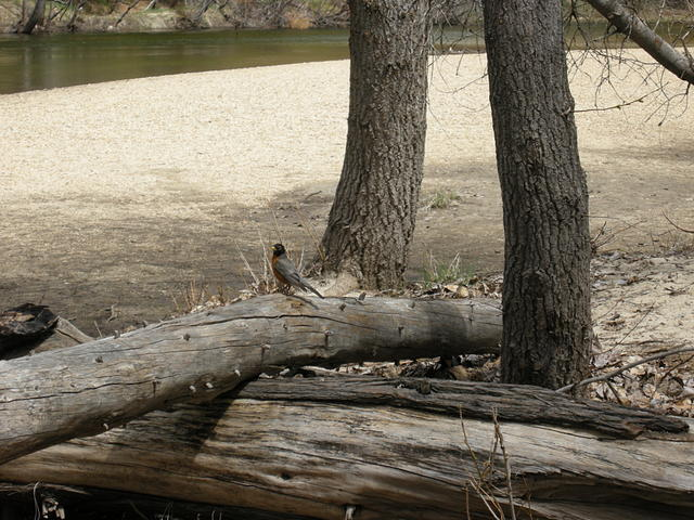 Robin on a Log Near the Merced River