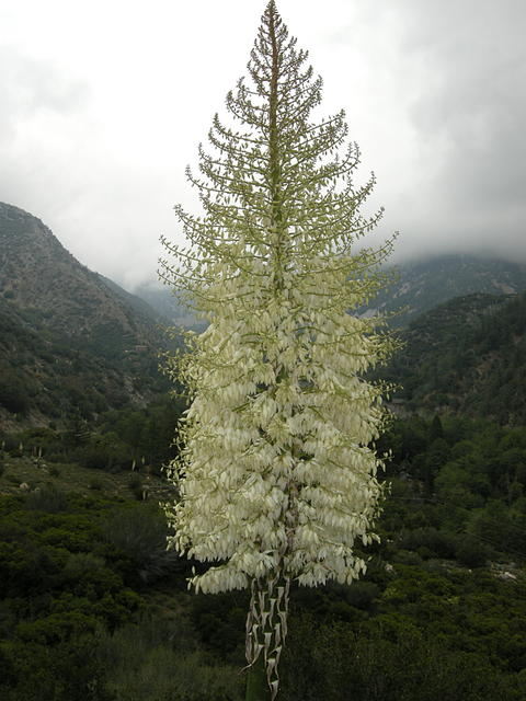 Yucca (Hesperoyucca whipplei) in Bloom