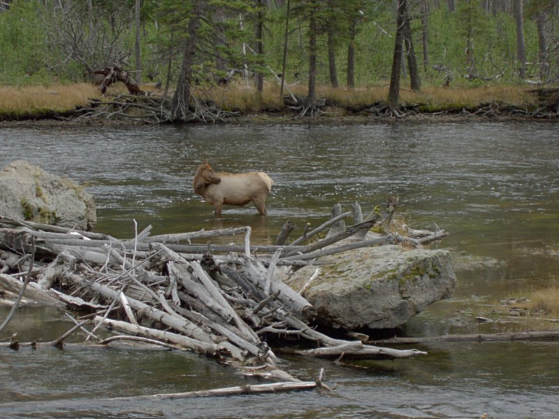 Madison River and Elk