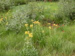 More Wildflowers at North Lake Campground