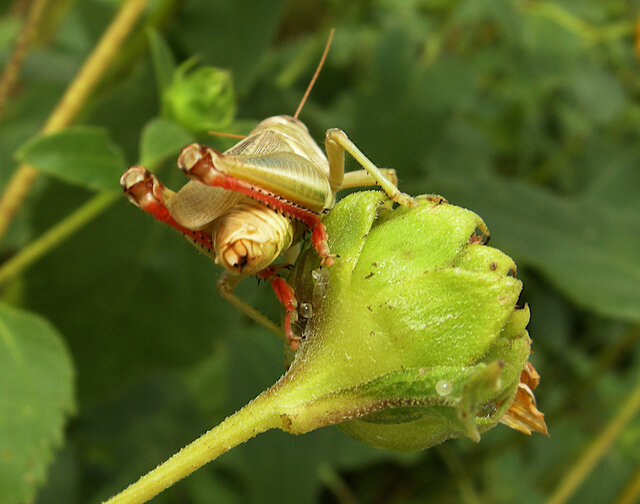 Grasshopper: Rear View