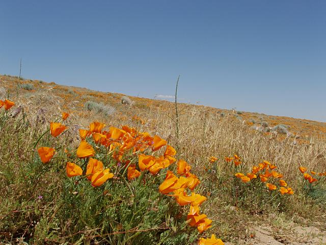 California Poppies, Antelope Valley