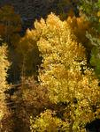 Fall Colors - Aspen, Bishop Creek