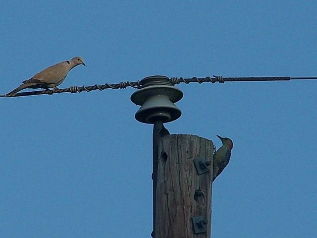 Dove and Woodpecker