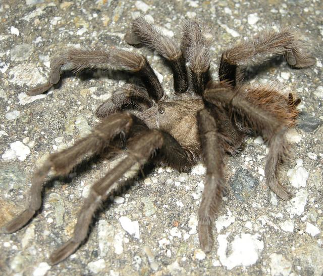 Tarantula in the Road