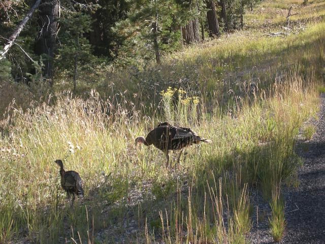 Wild Turkey and Offspring